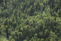 具球果绿色树在山腰的森林里 免版税库存图片