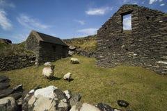 典型村庄老牧场地的绵羊 免版税库存图片