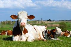 典型母牛的横向 免版税库存照片