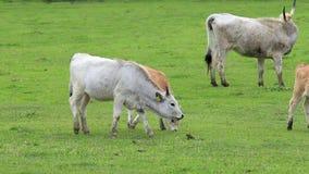 典型的古老品种匈牙利灰色母牛家庭 影视素材