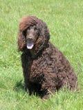典型的爱尔兰水西班牙猎狗在庭院里 免版税图库摄影