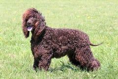 典型的爱尔兰水西班牙猎狗在庭院里 免版税库存照片
