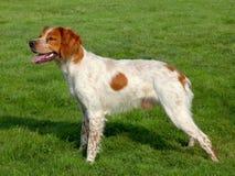 典型的被察觉的布里坦尼西班牙猎狗狗 库存照片