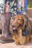 典型的达克斯猎犬特写镜头 库存照片