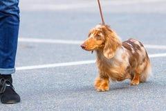 典型的达克斯猎犬特写镜头 免版税库存图片