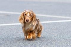典型的达克斯猎犬特写镜头 库存图片