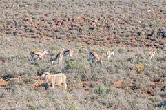典型的黄昏南部非洲的干旱台地高原农厂场面 库存图片