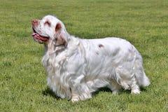 典型的Clumber西班牙猎狗在庭院里 免版税库存图片