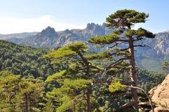 典型科西嘉岛结构树 库存照片