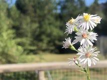 典雅的土气白色野花 免版税库存图片
