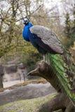 典雅的孔雀 库存图片