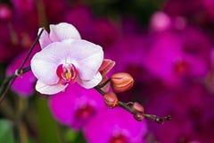 典雅的桃红色和白色兰花 免版税库存照片