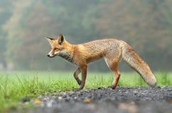 典雅的狐狸 免版税库存照片