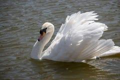 典雅的白色天鹅游泳在池塘 拉丁文和和平概念 与美丽的翼和白色全身羽毛的唯一天鹅 免版税图库摄影