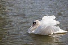典雅的白色天鹅游泳在池塘 拉丁文和和平概念 与美丽的翼和白色全身羽毛的唯一天鹅 免版税库存图片