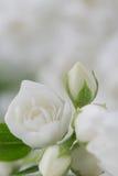 典雅的白色茉莉花花 免版税库存照片