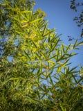 典雅的稀薄的绿色自然绿色竹背景原始的纹理离开 自然阳光 免版税图库摄影