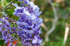 典雅的紫色紫藤开花自然背景 免版税库存图片
