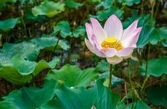典雅的莲花在一个自然热带湖迷人开花 库存图片