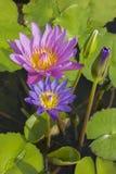 典雅的蓝色和桃红色百合花莲花在水中 免版税库存图片