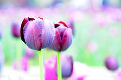 典雅的郁金香花在庭院里 库存图片