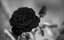 典雅的黑色玫瑰花卉装饰背景 浅景深黑白照片摄影 免版税库存照片