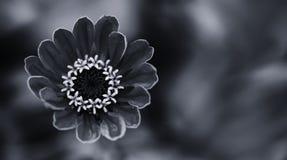 典雅的黑白色花卉装饰背景 开花的百日菊属花特写镜头摄影 选择聚焦 库存照片