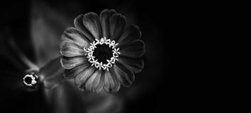 典雅的黑白色花卉装饰背景 看法,特写镜头浅景深的百日菊属花黑白照片 免版税库存照片