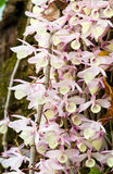 典雅的紫色和白色兰花 库存图片