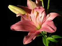 典雅的lilly桃红色花 免版税图库摄影