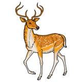 典雅的sika鹿 库存照片