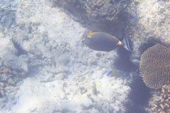 典雅的unicornfish 免版税库存照片
