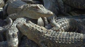 养殖农场的鳄鱼 股票录像