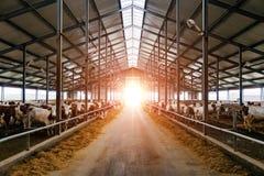 养殖在自由家畜摊位的母牛 免版税库存照片