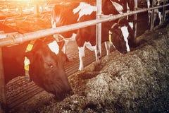 养殖在自由家畜摊位的母牛 库存图片