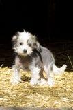 养殖无毛中国有顶饰的狗 库存图片