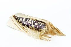 养殖的干玉米 库存图片