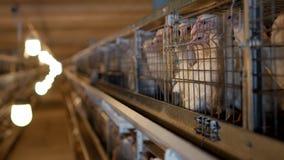 养殖的烤小鸡的家禽场,年轻鸡在露天笼子和啄坐混杂的饲料,鸡 股票录像