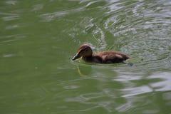 养殖那么舒适地单独游泳的鸭子,lerida 免版税图库摄影