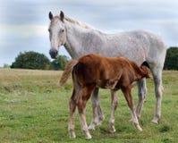 养育母马和萨福克打孔机驹 免版税库存图片