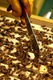 养蜂业特写镜头 免版税库存图片
