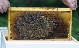 养蜂业蜂蜜 免版税库存图片