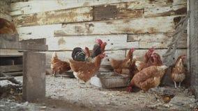 养鸡场,禽畜 母鸡和雄鸡在鸡舍 股票录像