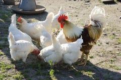 养鸡场 库存照片