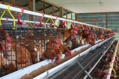 养鸡场 免版税库存照片