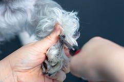 兽医切开一只小髯狗的钉子在诊所的 免版税库存图片