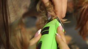 兽医剪在约克夏狗的爪子的头发与飞剪机的,特写镜头 股票录像