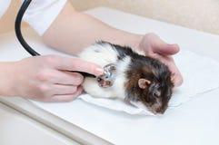 兽医审查听诊器动物鼠 特写镜头 库存图片