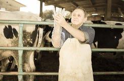 兽医戴着长的手套检查母牛 免版税库存图片