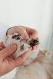 兽医检查的猫 库存图片